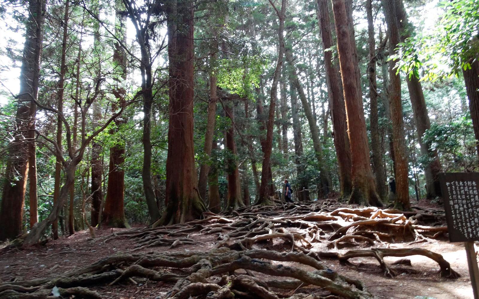 Cedar trees at the summit of Kurama Mountain